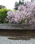 ciliegio al ryoanji