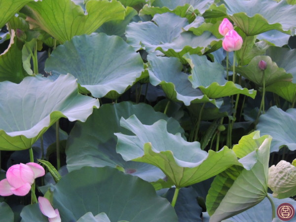 Nello stagno di Shinobazu era fiorito il loto, una sera di agosto. Tokyo, agosto 2013.
